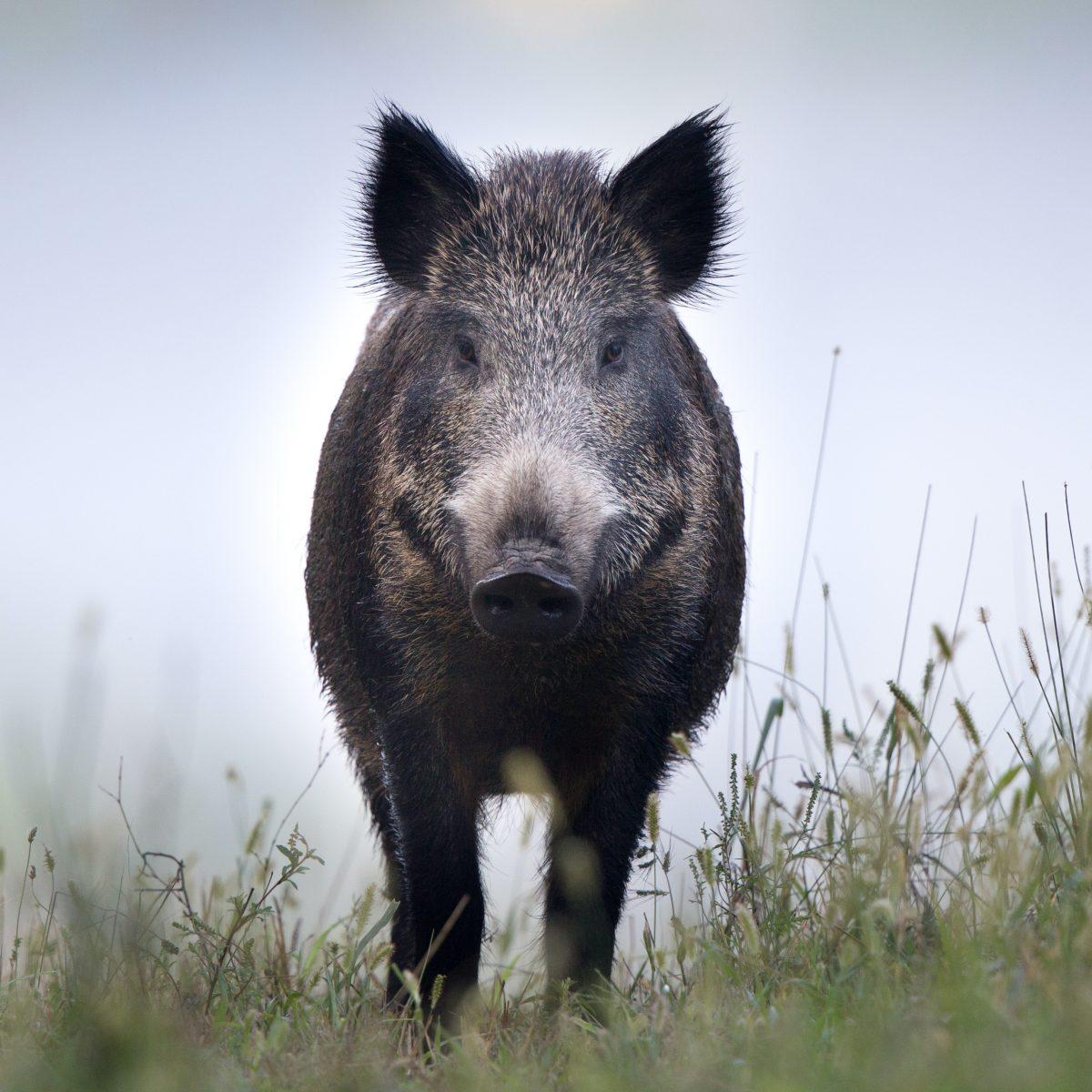 Wildschweinfleisch direkt vom Jäger